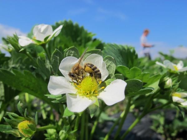 BICOPOLL nanos za+í¦Źitnega sredstva na cvet s pomo¦Źjo ¦Źebel (foto Danilo Bevk)