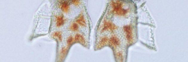 """""""Dinoflagelati, diatomeje, njihovi toksini in zastrupitve z morsko hrano"""""""