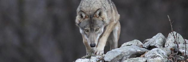Projekt LIFE WolfAlps v EU izbran kot najboljši projekt v kategoriji Narava in Biotska raznovrstnost zaključen v letu 2018