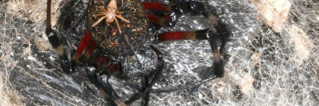 Manjši pajki niso hitrejši plezalci
