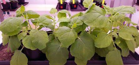 Znanstveniki pozivajo Evropski parlament in komisijo, da omogoči uporabo tehnik urejanja genoma za trajnostno kmetijstvo