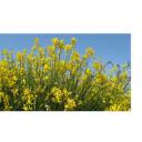 Širjenje bakterijskega ožiga oljk – grožnja za Sredozemlje in širše?