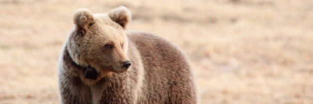 dr. Tomaž Skrbinšek: Uporaba genetike pri spremljanju stanja populacij velikih zveri