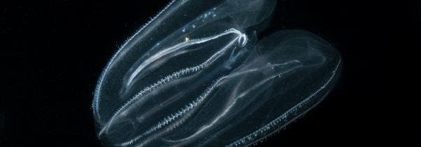 Tujerodna rebrača Mnemiopsis leidyi v slovenskem morju