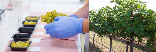 Prilagajanje pridelava vina podnebnim spremembam