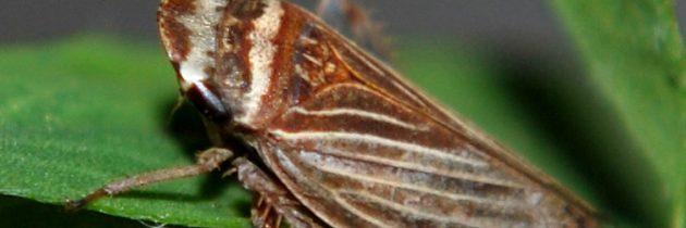 Vibracijska komunikacija  pri malih škržatih  vrste Aphrodes makarovi